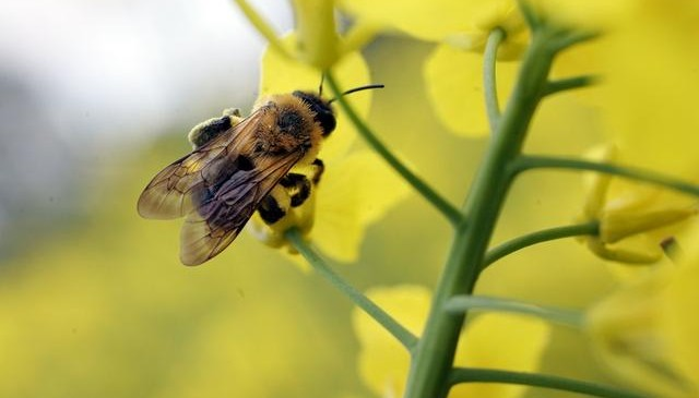 jak-uratowac-dzikie-pszczoly