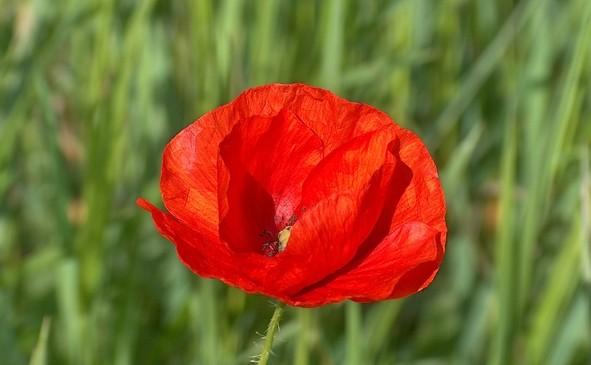 Uroczystosc-przekazania-praw-do-piesni-Czerwone-maki-na-Monte-Cassino